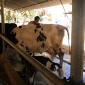 Akshykalpa Organic Diary Farm, Tiptur