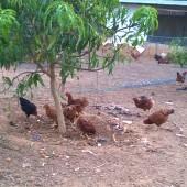 Free range poultry, Lumiere Farm