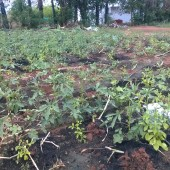 SAAL – Organic vegitables, bio char for growth, Sevayur, Madurai
