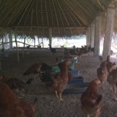 Happy Hens Farms, Trichy, Tamil Nadu